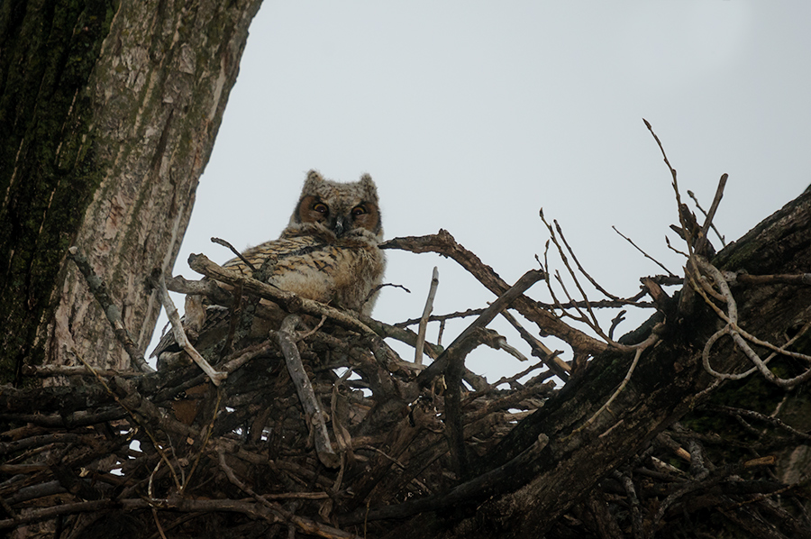 Owlet ready to leave the nest