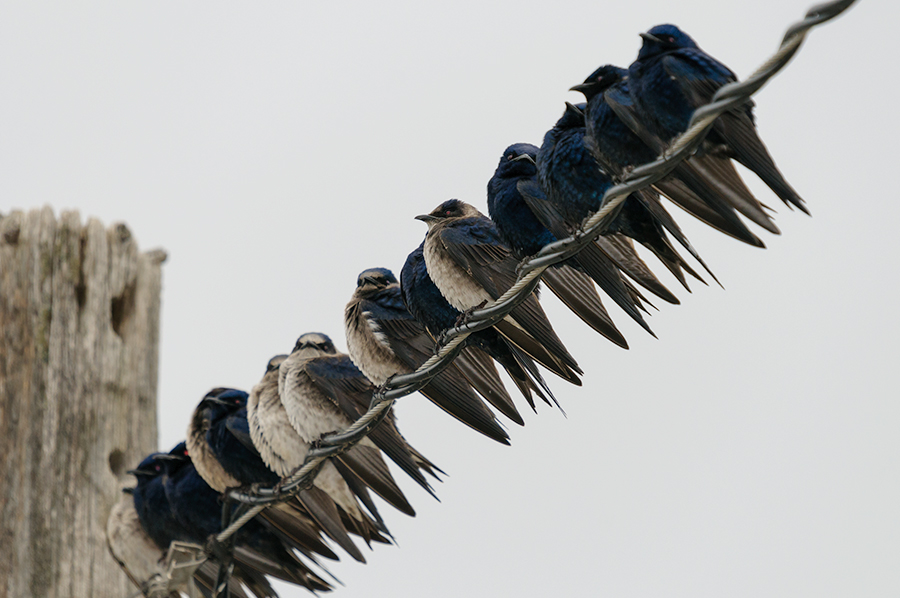 Purple Martins 2