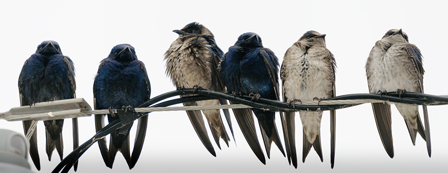 Purple Martins 1