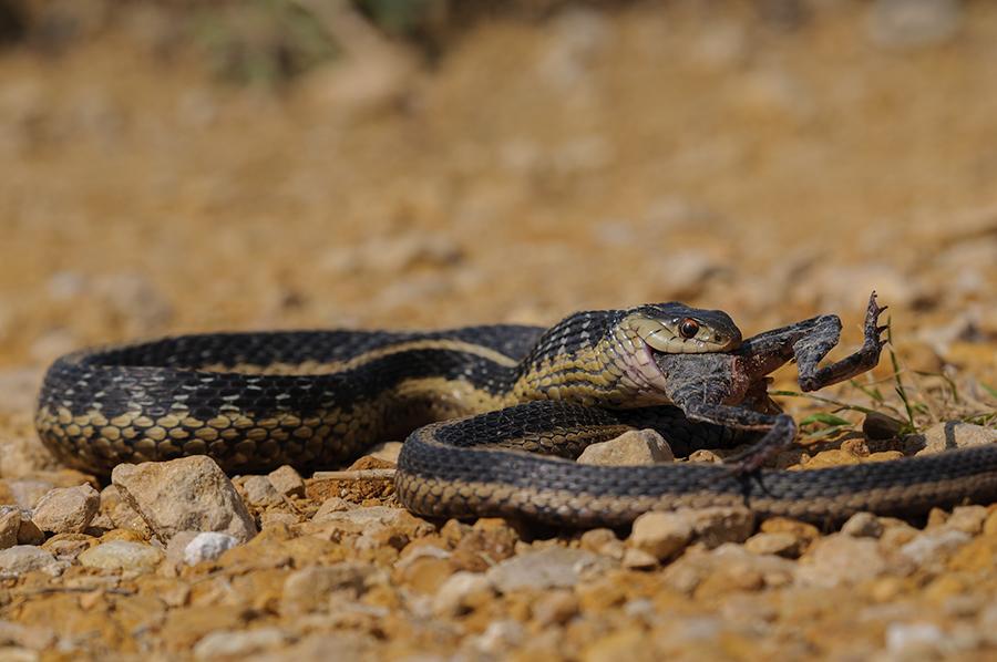 Garter Snake 2