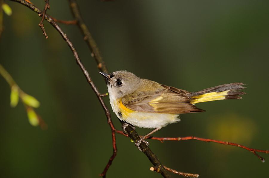 American Redstart, 1st spring  male
