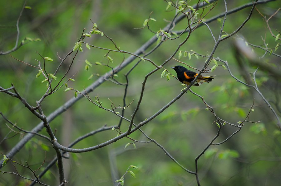 American Redstart, male adult