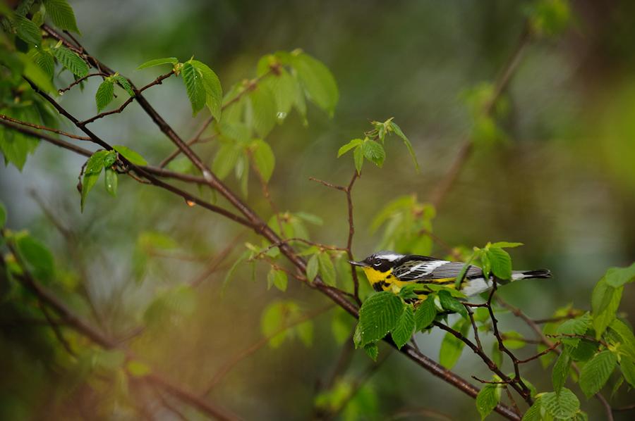 Magnolia Warbler 1