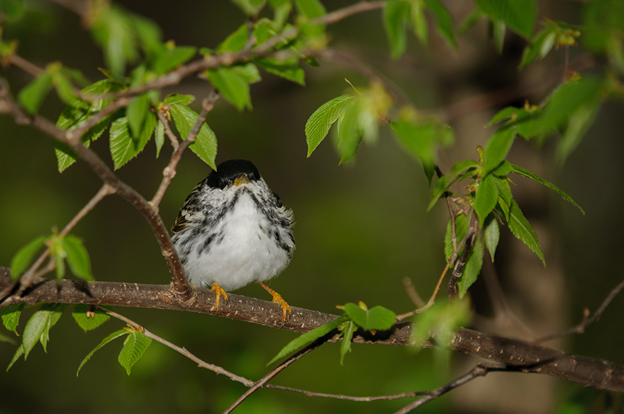 Blackpoll Warbler, male 2