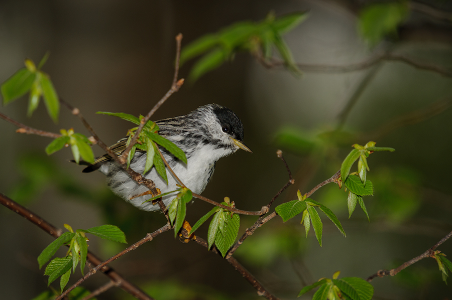 Blackpoll Warbler, male