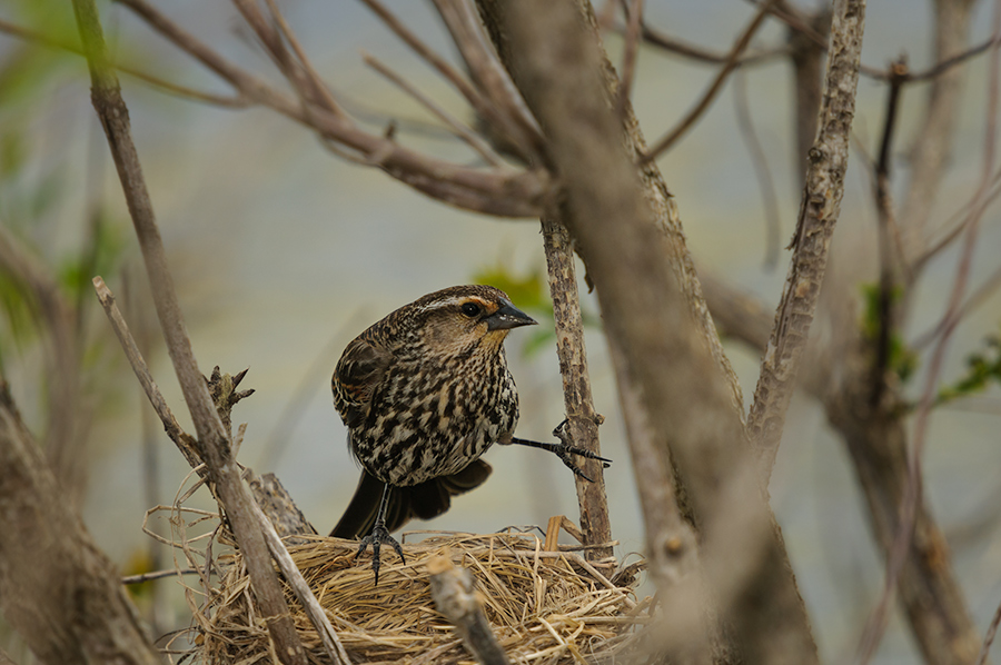 Female Red-winged Blackbird getting back into the nest