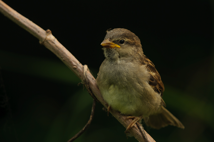 House Sparrow - juvenile