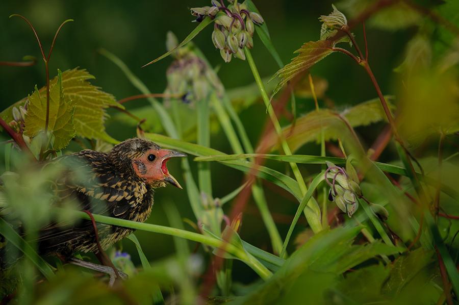 Blackbird - juvenile