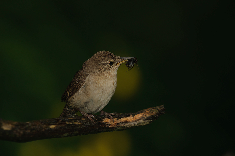 House Wren with fly