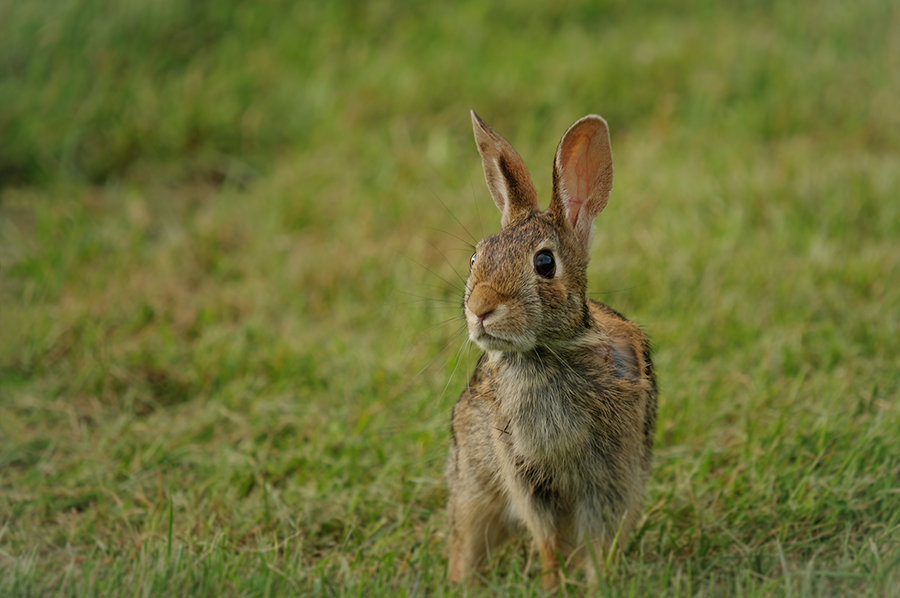 Eastern Cottontail 1