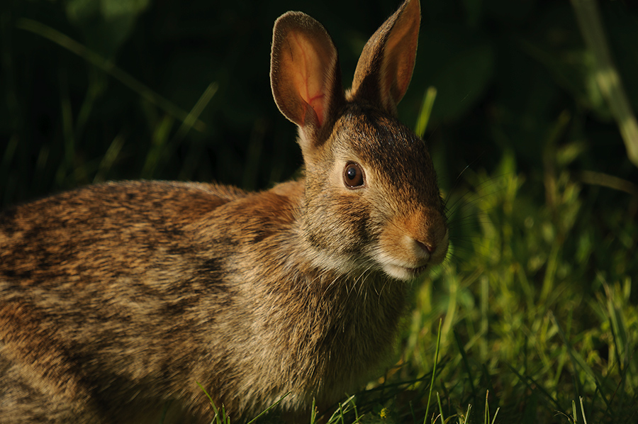 Eastern Cottontail 3