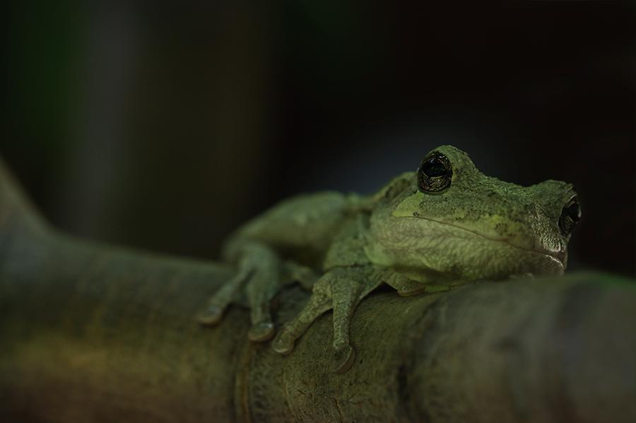 Gray Tree Frog 1