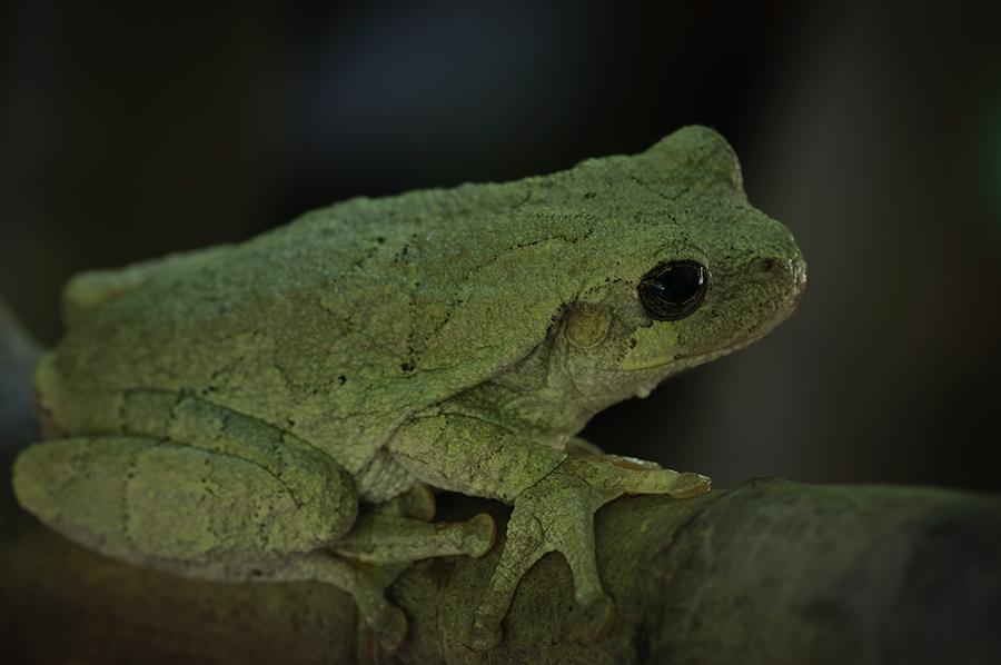 Gray Tree Frog 2