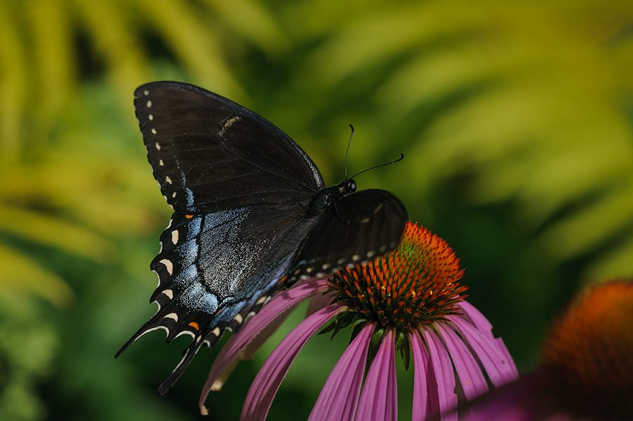Black female Eastern Swallowtail