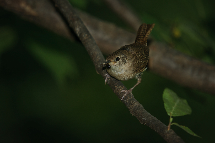 Wren on branch