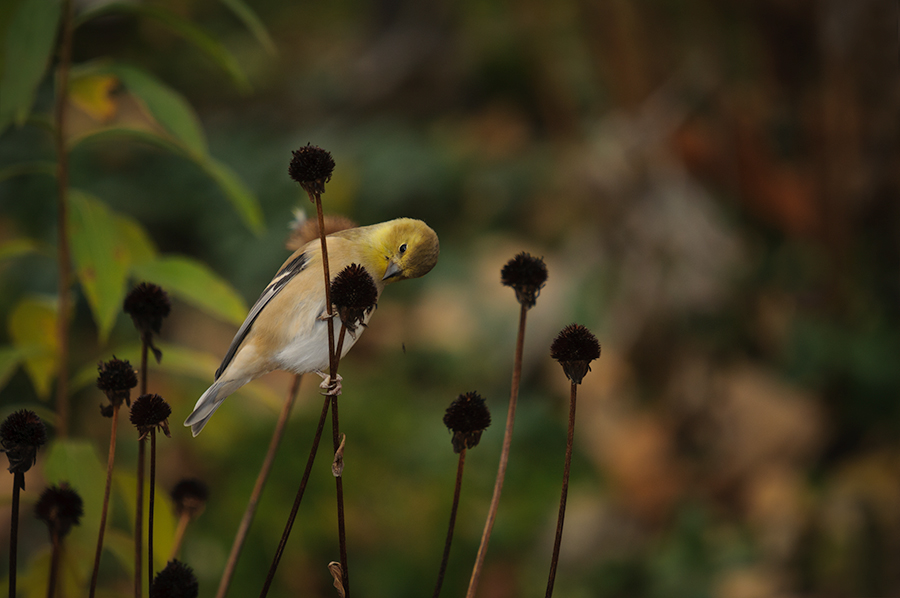 Goldfinch picking seeds