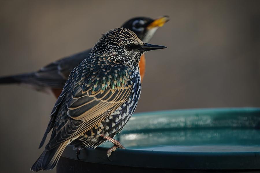 European Starling 1