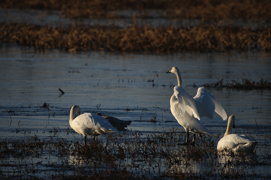 Trumpeter Swans 2