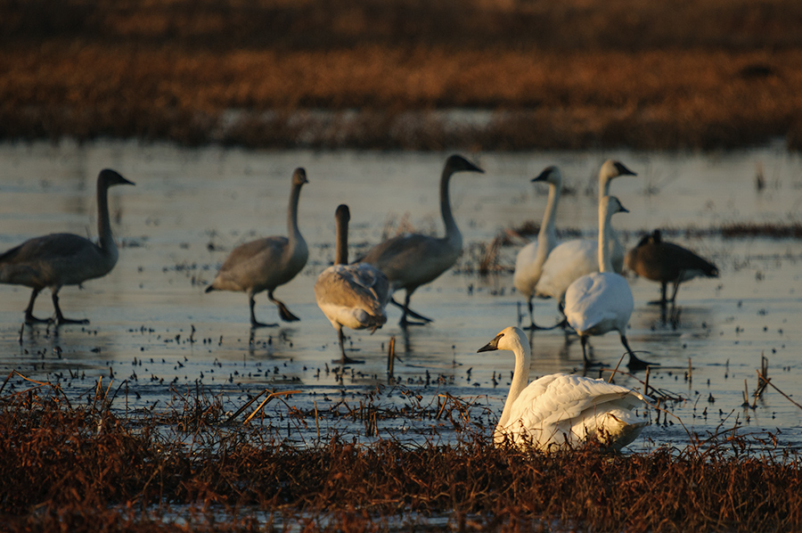 Trumpeter Swans 3