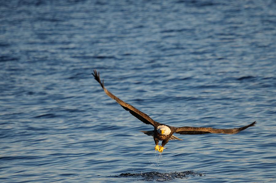 Bald Eagle 2015-2