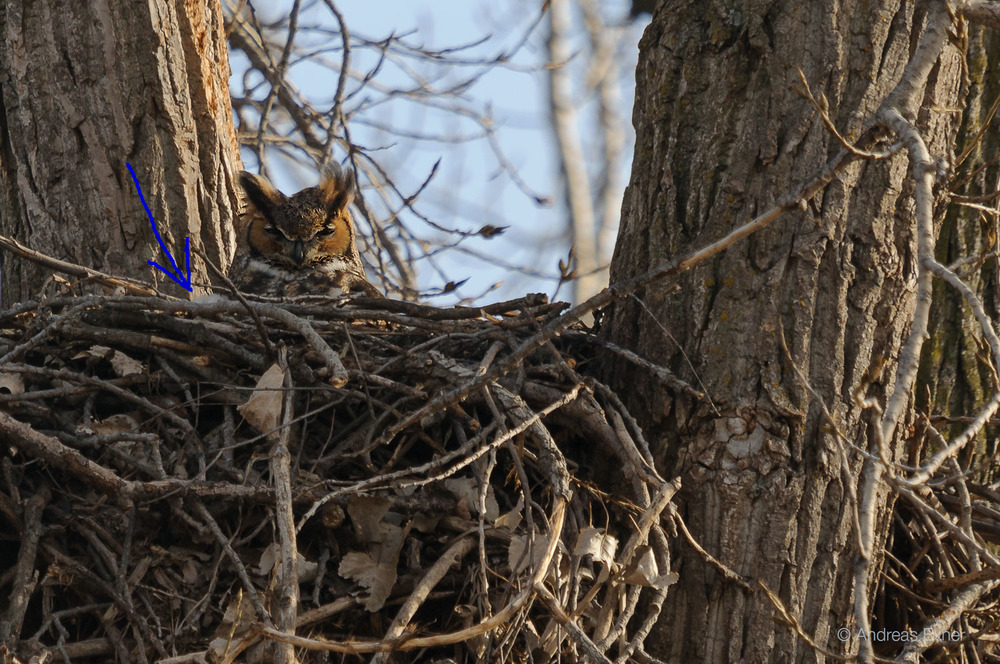 Great Horned Owl with owlet