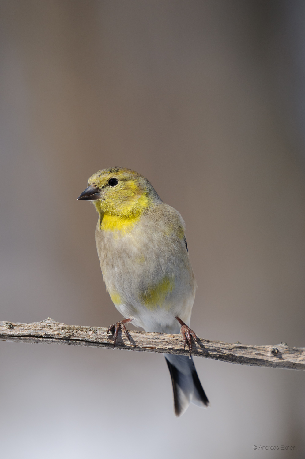 AMERICAN GOLDFINCH, MALE, WINTER