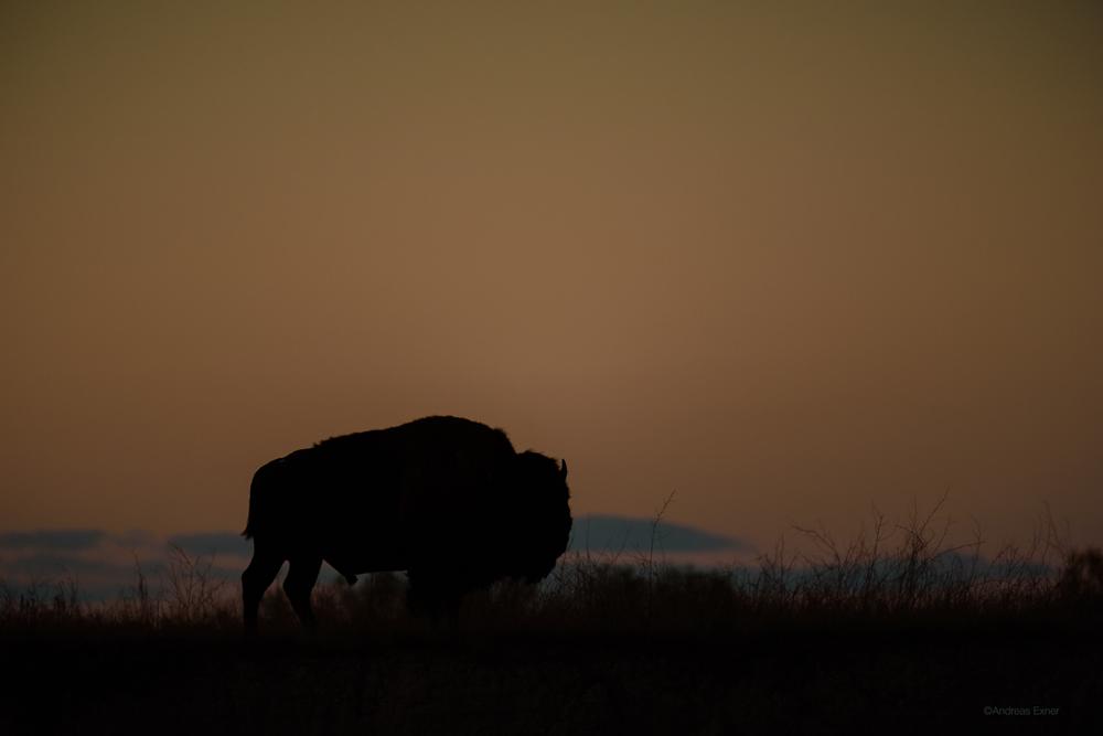 Bison at sunset -Badlands National Park, South Dakota