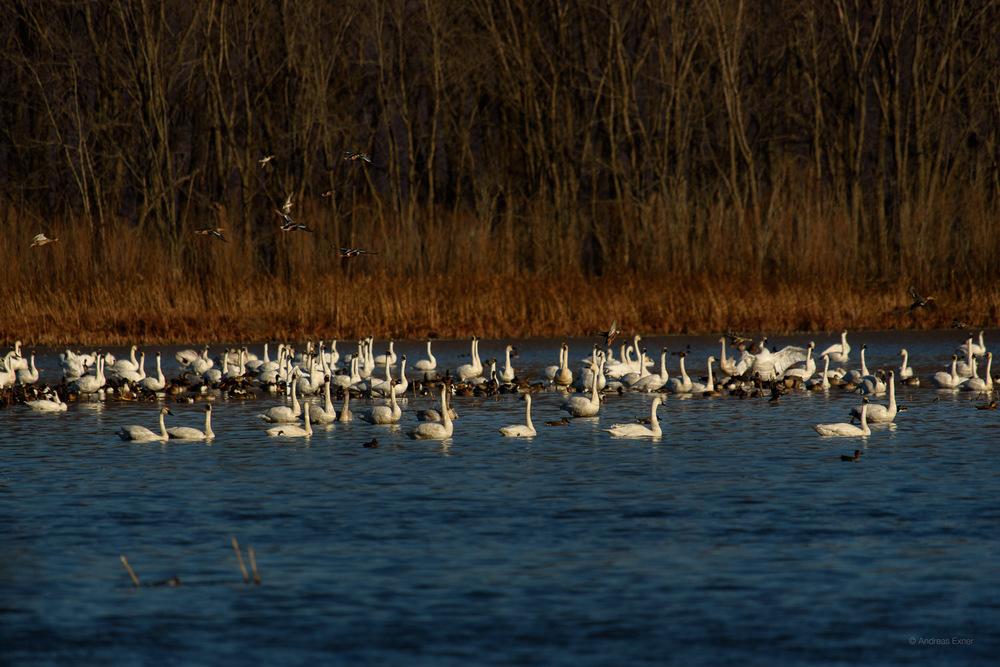 Tundra Swans, Harper's Slough, Mississippi River, Iowa