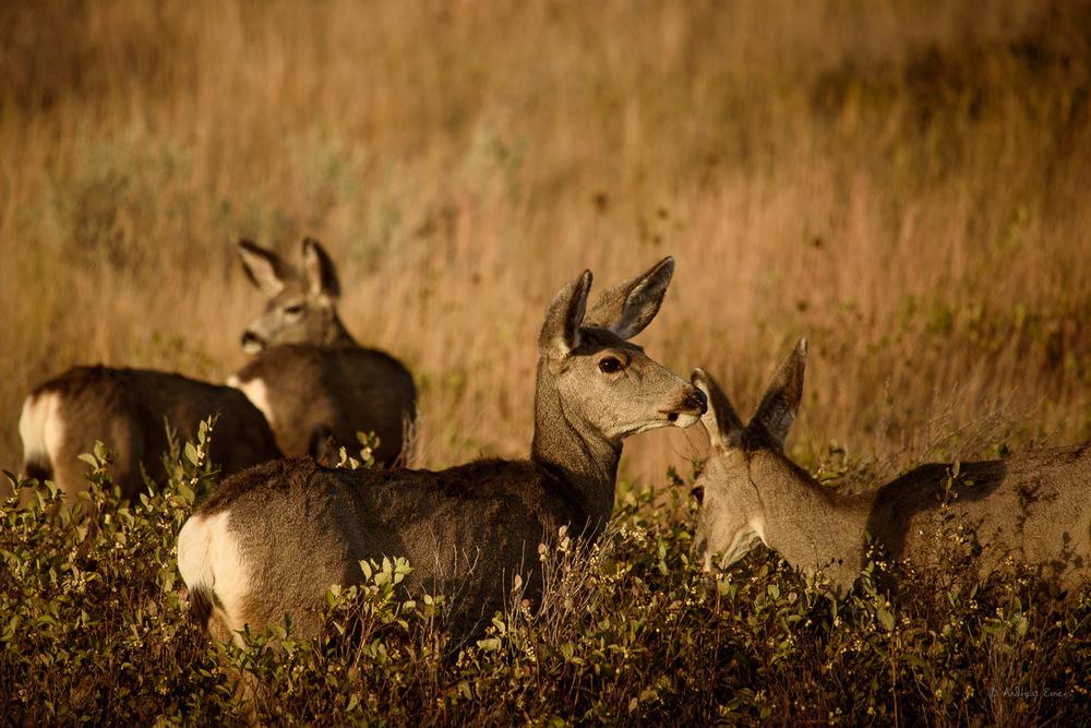 Mule Deer, Theodore Roosevelt NP