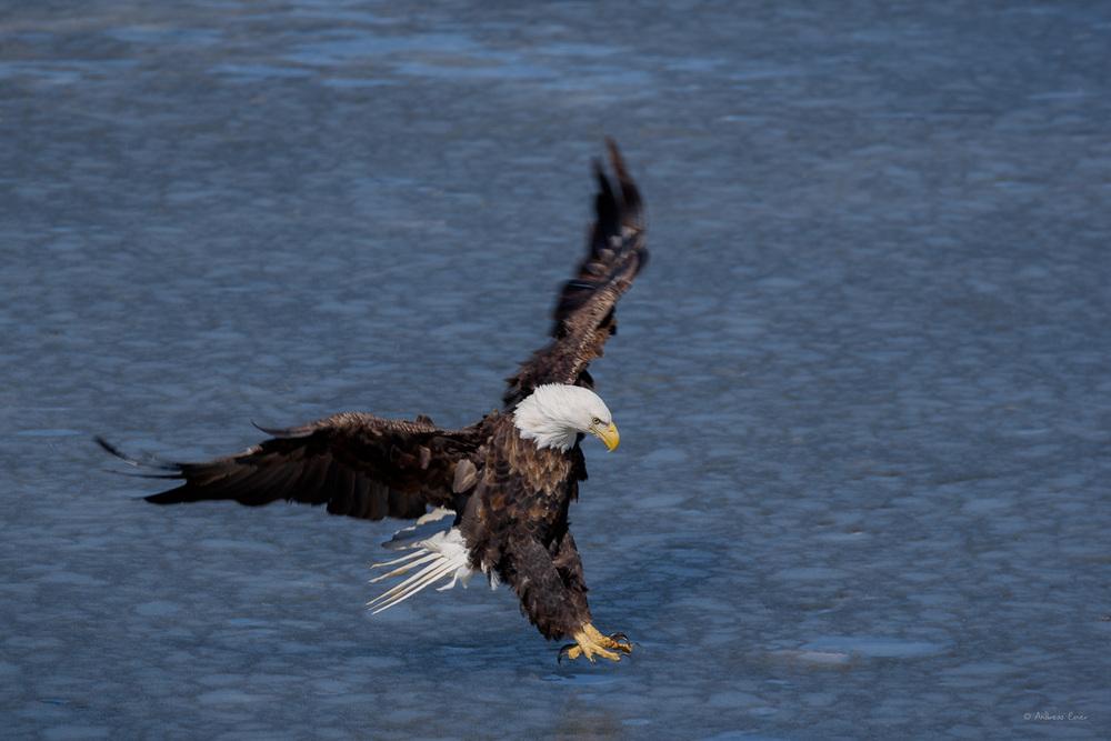 Bald Eagle, 16th Street Basin,Dubuque, Iowa