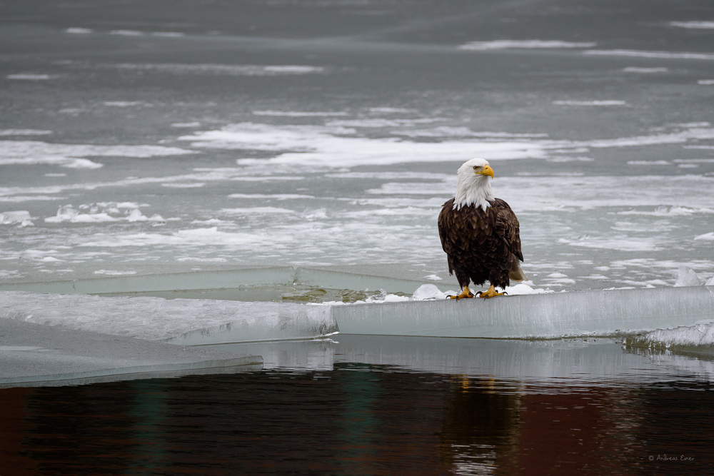 Bald Eagle, Ice Harbor, Dubuque, Iowa