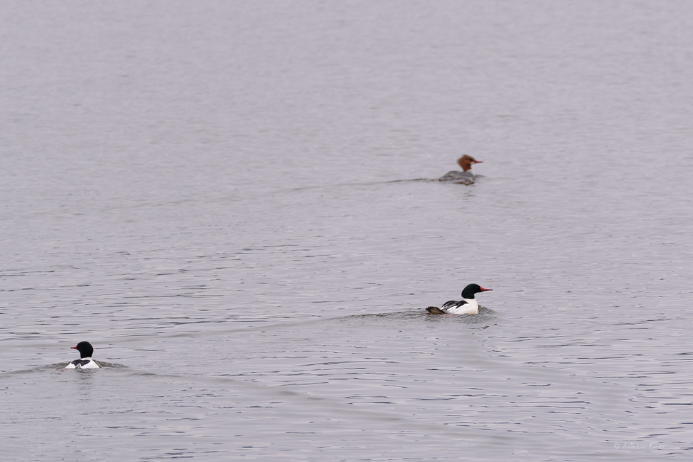 Common Mergansers, Mississippi River, dam #11, Wisconsin
