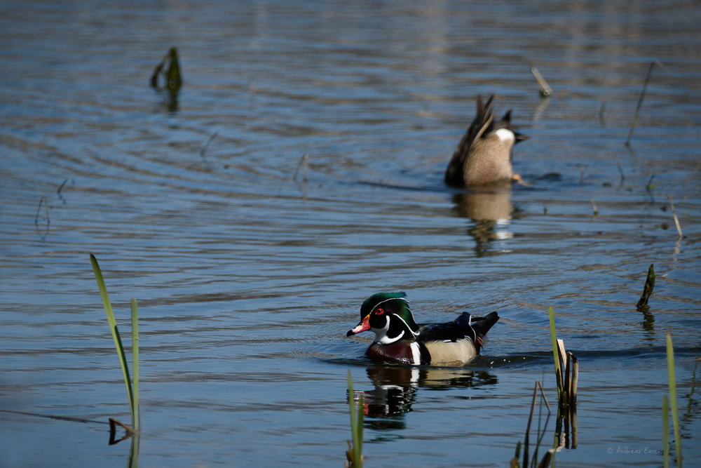Male Wood Duck, Green Island Wetlands