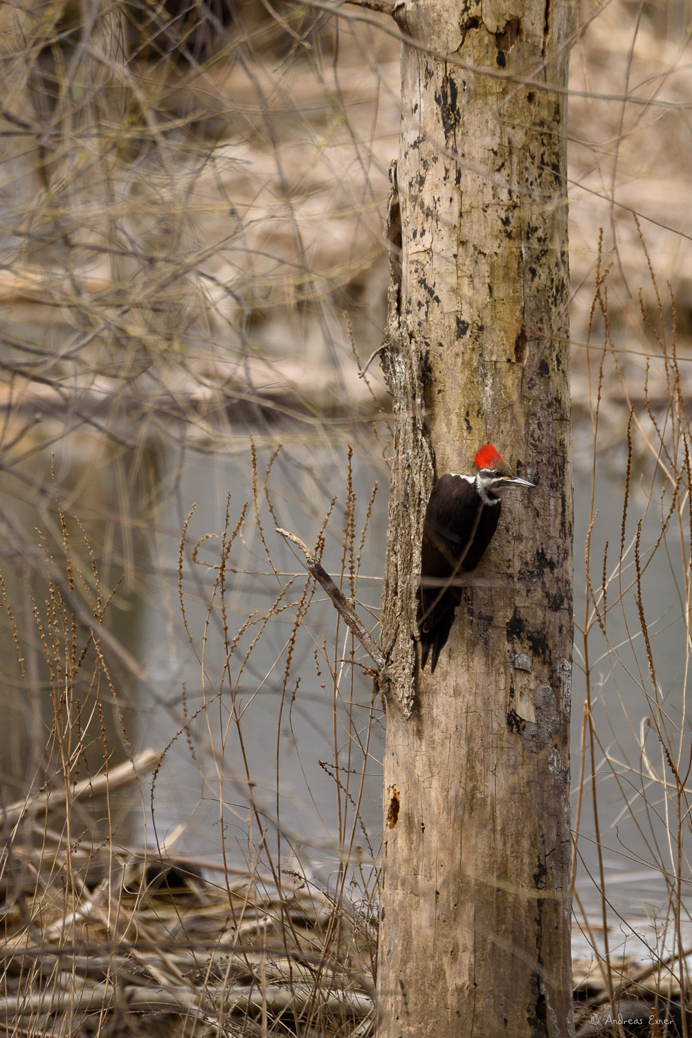 Female Pileated Woodpecker, Mississippi River, dam #9