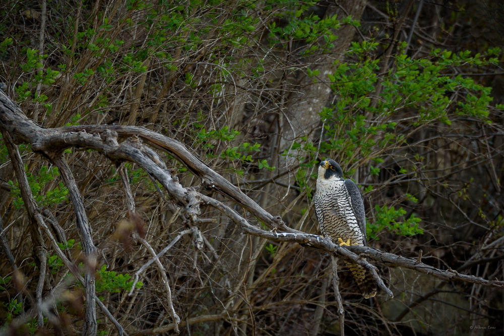 Peregrine Falcon Bellevue, Iowa
