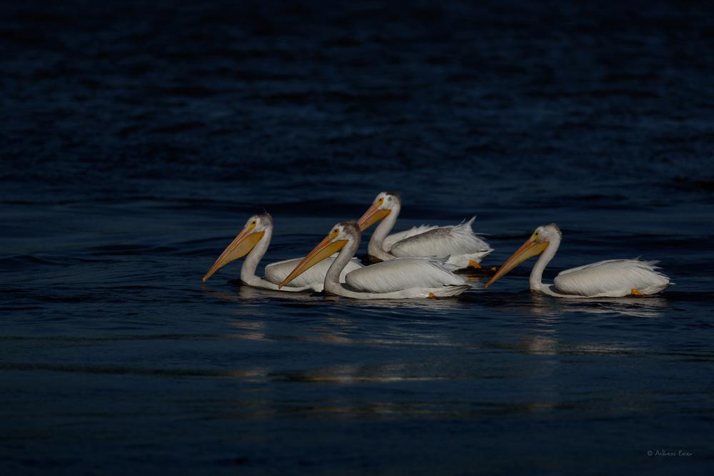American White Pelicans - Mississippi River, Dubuque, Iowa, lock & dam #11