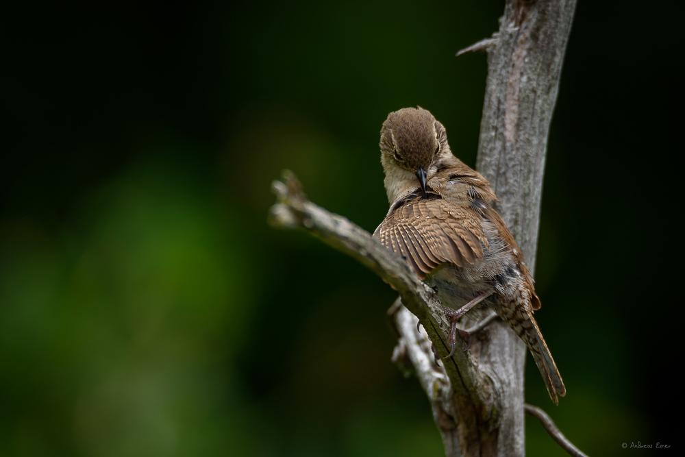 Male House Wren