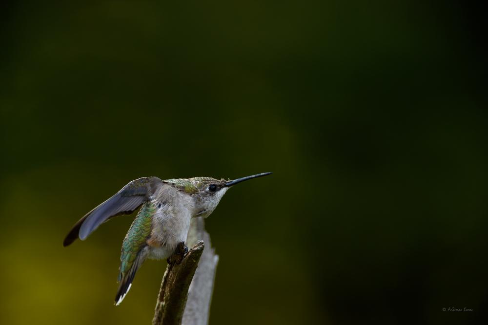 Female Ruby-throated Hummingbird ---