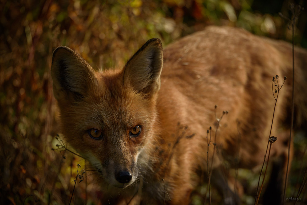 Red Fox - Sleeping Giant Provincial Park, Ontario, Canada ----------