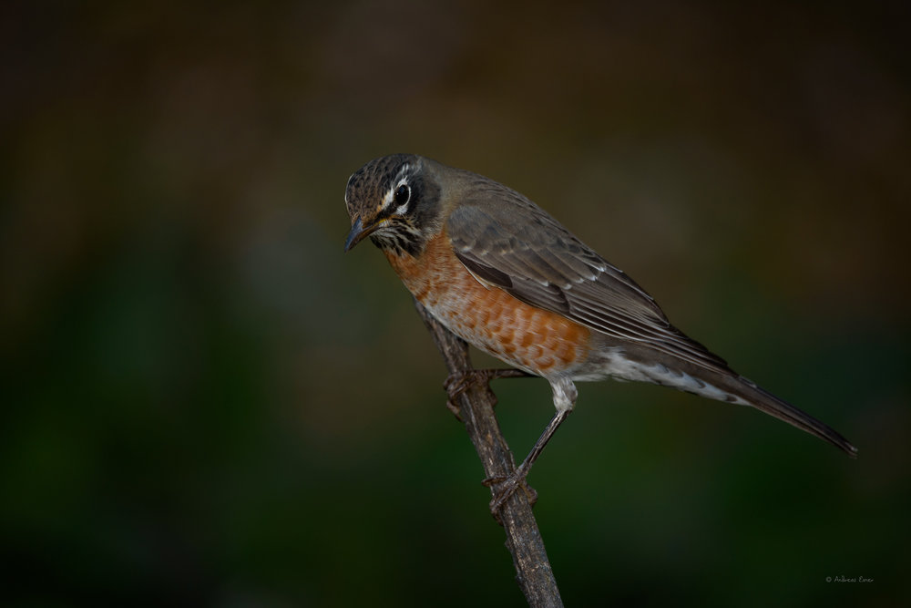 American Robin -------