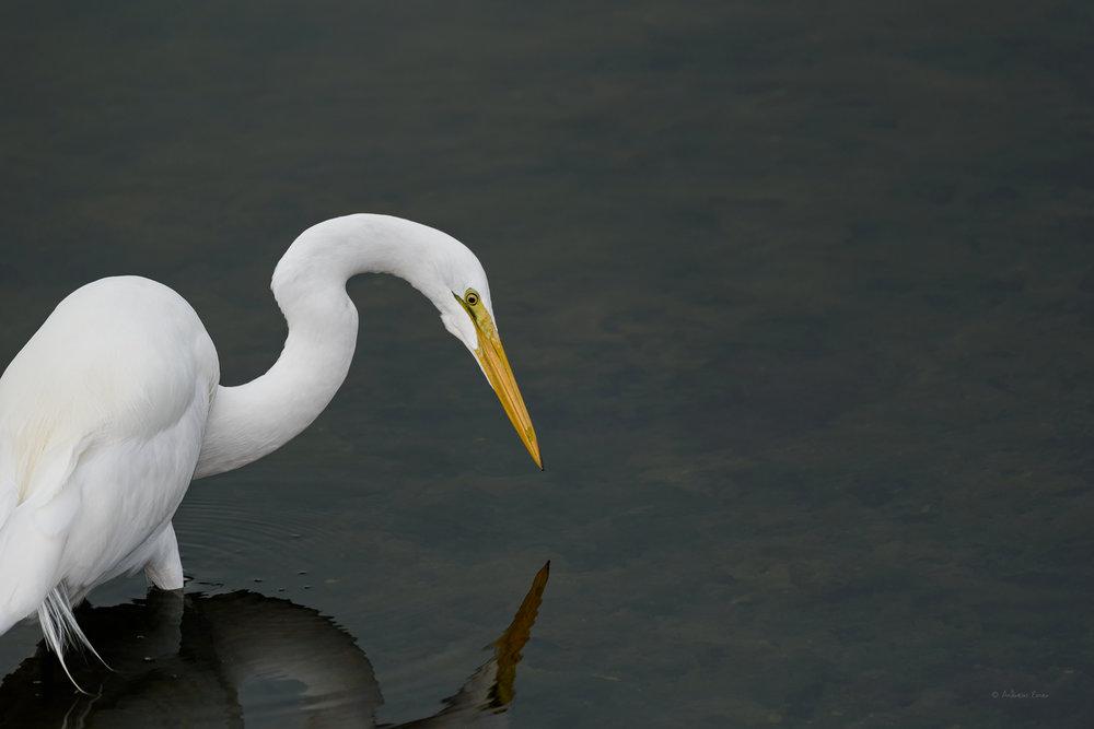 Great Egret, Bolsa Chica Ecological Reserve, Huntington Beach, California --------