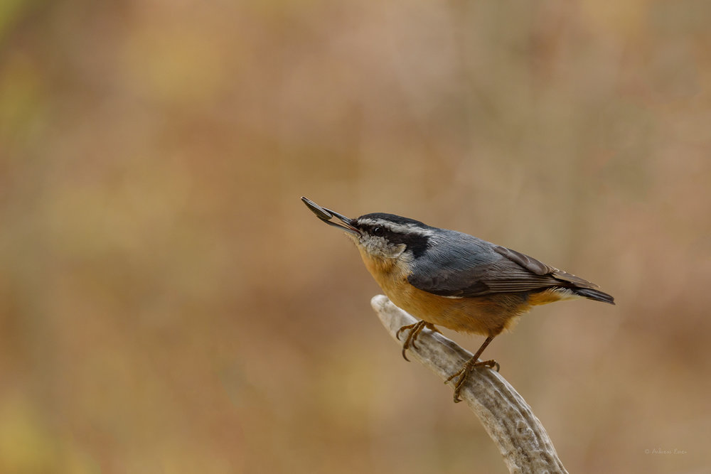 Red-breasted Nuthatch ------------