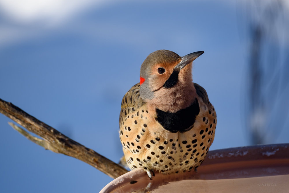 Male Yellow-shafted Northern Flicker -----------