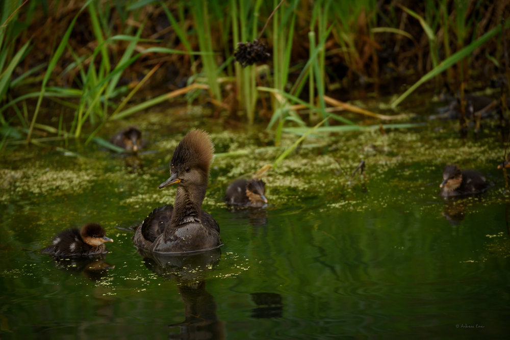Hooded Merganser with offspring, Green Island Wetlands, May 2016