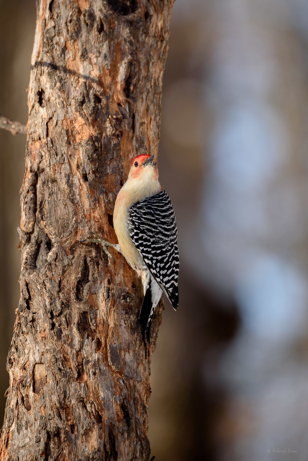 Red-bellied Woodpecker -----------