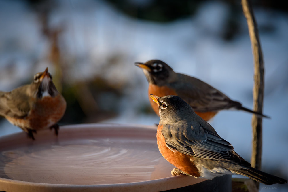 American Robins ------------------