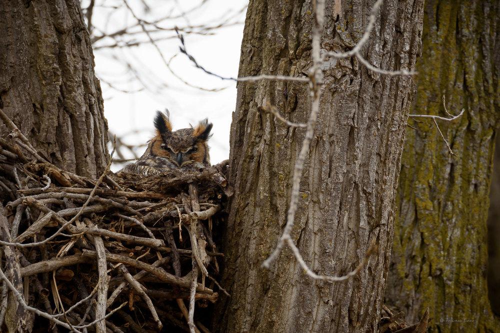 Great Horned Owl ------------