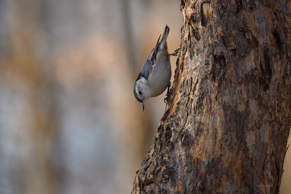 Male White-breasted Nuthatch