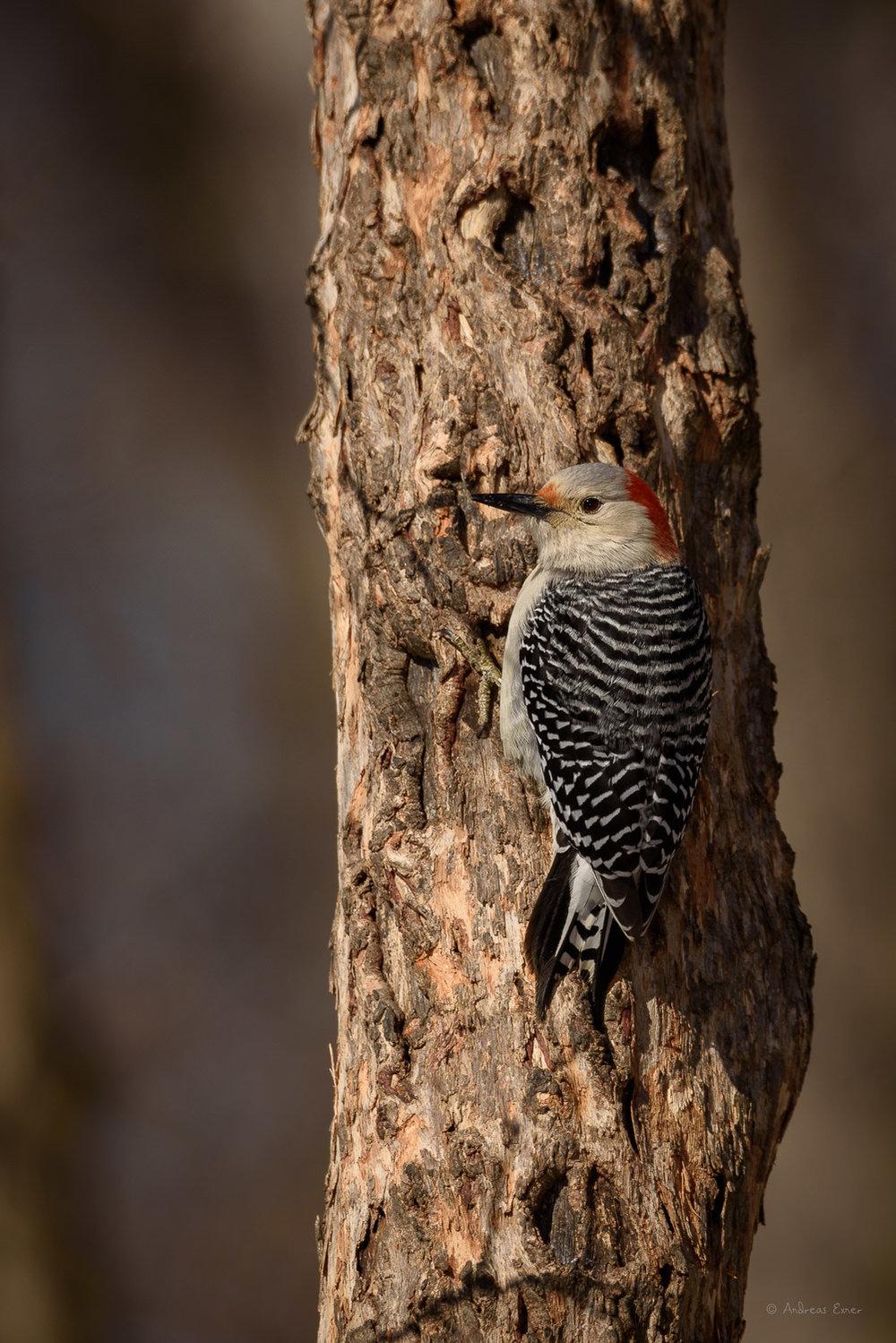 Female Red-bellied Woodpecker ---