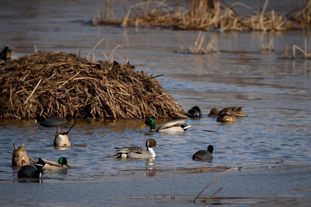 Northern Pintail / Mallard / American Coot --Mississippi River, Deere Marsh, Iowa -------